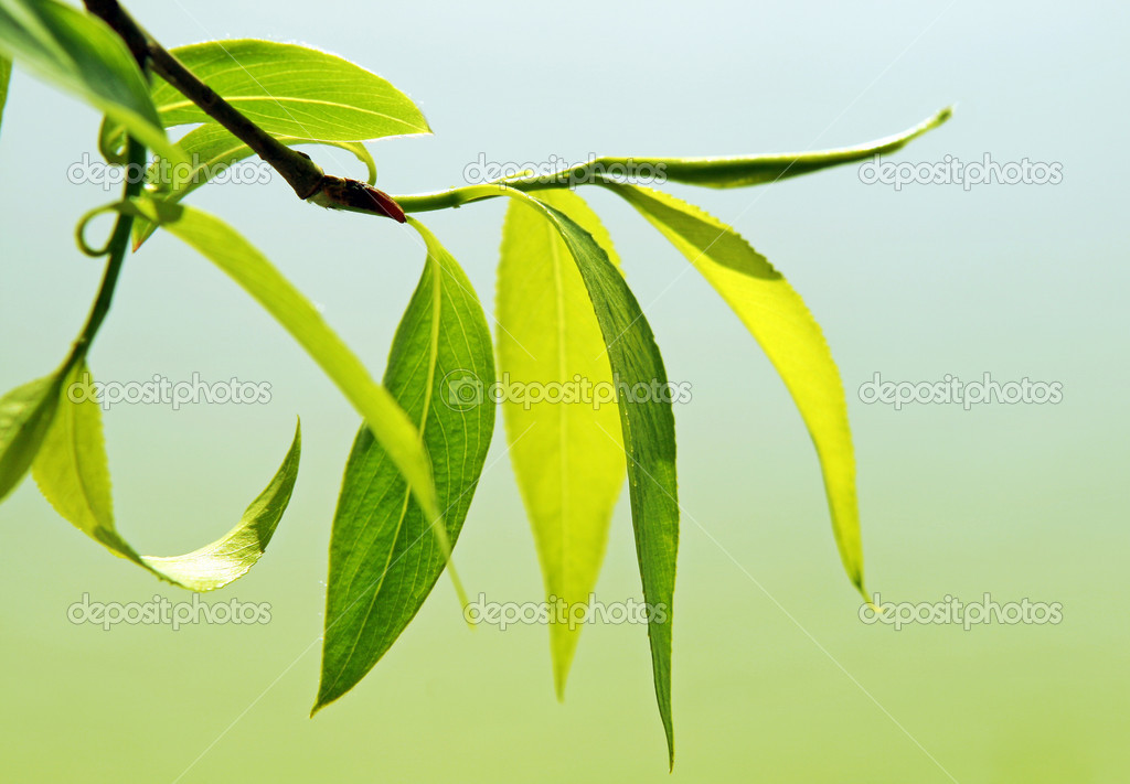 Fresh green leaves glowing in sunlight — Stock Photo #1131806