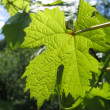 Leaf of grape glowing in sunlight — Stock Photo