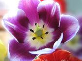 Close-up of beautiful tulip — Stock Photo