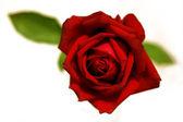 红玫瑰的特写 — 图库照片