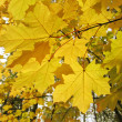 Autumn leaves of maple tree — Stock Photo