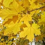 Autumn leaves of maple tree — Stock Photo #1160784