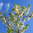 Branch of blossoming tree — Stock Photo