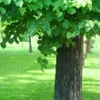 Tree with green foliage — Stock fotografie