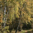 Autumn birch trees — Stock Photo