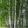 Birch trees — Stock Photo #1167110