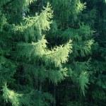 Çamın dalları — Stok fotoğraf