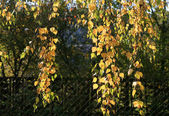 Branch of autumn birch tree — Stock Photo