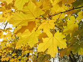 Autumn leaves of maple tree — Zdjęcie stockowe