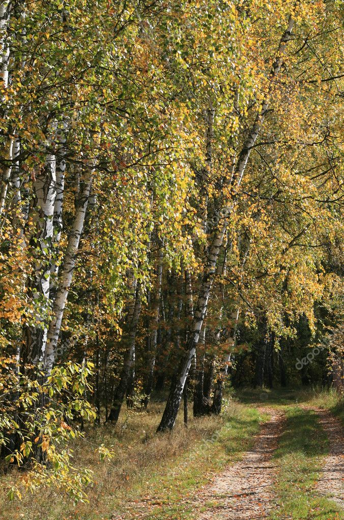 Solar autumn day in birch forest   Stock Photo #1167012