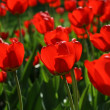 Stock Photo: Beautiful red tulips