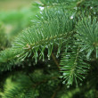 Pine branch with raindrops — Stock Photo