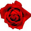 ストック写真: Bud of beautiful red rose