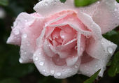 Gentle pink rose with water drops — Stock Photo