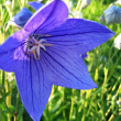 Closeup of beautiful blue flower — Stock Photo