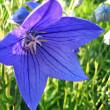 Closeup of beautiful blue flower — Stock Photo