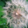Giant dandelion — Stock Photo #1217001