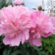 Pink flowers of peony — Stock Photo