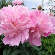 Stock Photo: Pink flowers of peony