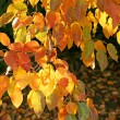 Branch of autumn tree glowing in sunligh - Stock Photo