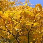 Autumn tree on blue sky background — Stock Photo #1217935