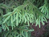 Pele árvore branche — Foto Stock