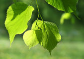 Fresh green spring leaves — Stock Photo