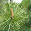 Coniferous tree branch with cone sprout — ストック写真