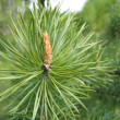 Coniferous tree branch with cone sprout — 图库照片