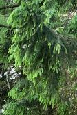 毛皮ツリー branche — ストック写真