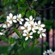 Branch of a blossoming tree — Stock Photo #1232261