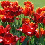 Beautiful red tulips — Stock Photo #1232391