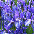 Beautiful iris flowers - Stock Photo