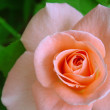 Stock Photo: Pink rose
