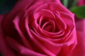 Flower of beautiful rose — Stock Photo