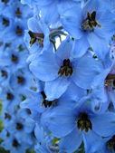Blue Delphinium flowers — Stock Photo