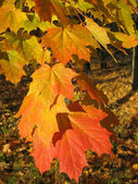 Beautiful autumn leaves of maple tree — Zdjęcie stockowe