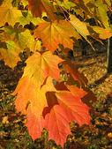 Piękne jesienne liście z drzewa klonowego — Zdjęcie stockowe