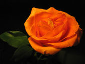 Beautiful orange rose isolated on black — Stock Photo