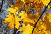Gałąź jesień klon drzewo — Zdjęcie stockowe