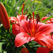Stock Photo: Beautiful red lily