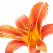 Lily isolated on the white background — Stock Photo