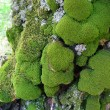 Moss on trunk of old tree — Stock Photo