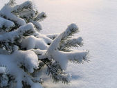 Branches of pine under a snow — Stock Photo