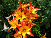 Yellow and red lilies — Stock Photo