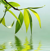 Fresh green leaves reflected in water — Stock Photo