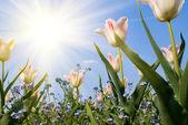 Tulip and sun — Stock Photo