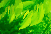 Green leaves are in the sun light — Stock Photo