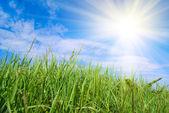 Grass and sun — Stock Photo
