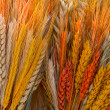Varicoloured ears of grain - Stock Photo